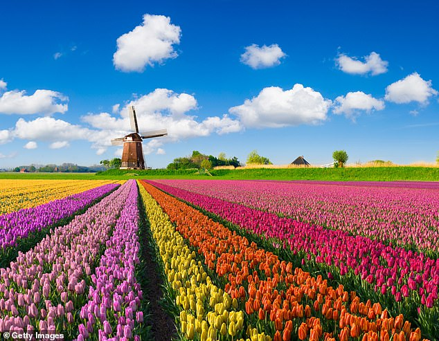 Colourful treat: The magnificent bulbfields in front of a Dutch windmill