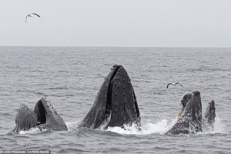 Photographer, Jodi Frediani, was there to capture the action and said the whales came up quite close to the boat, as well as sea lions and seagulls