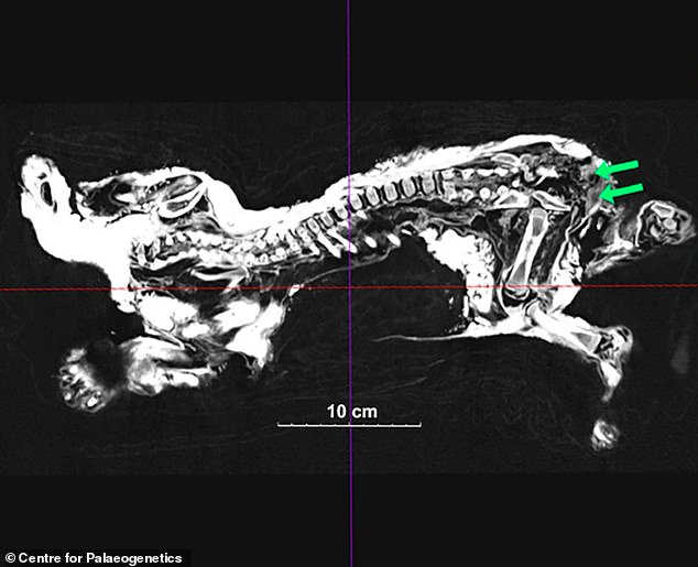 A 2D image of Boris' inside structure. Green arrows show the testicle-like organs