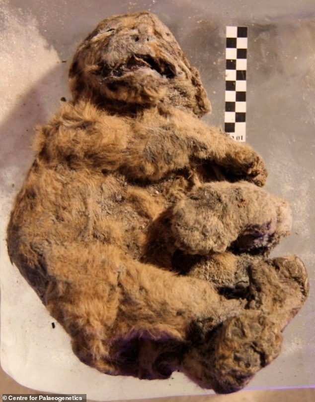 There have been a number of cave lion cubs discovered in the permafrost, revealing more about the history of the region