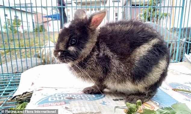 A Sumatran striped rabbit, the world's rarest rabbit, was saved by Indonesian wildlife officials after it was spotted for sale on Facebook