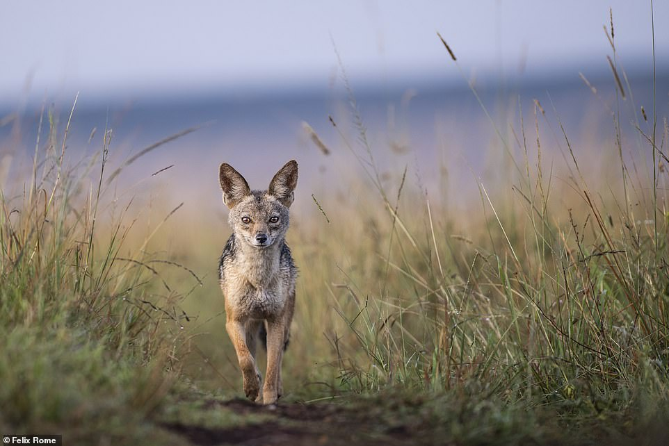 46531273 9844201 The jackal is one of my favourite animals in the Mara said Feli a 110 1629273521078