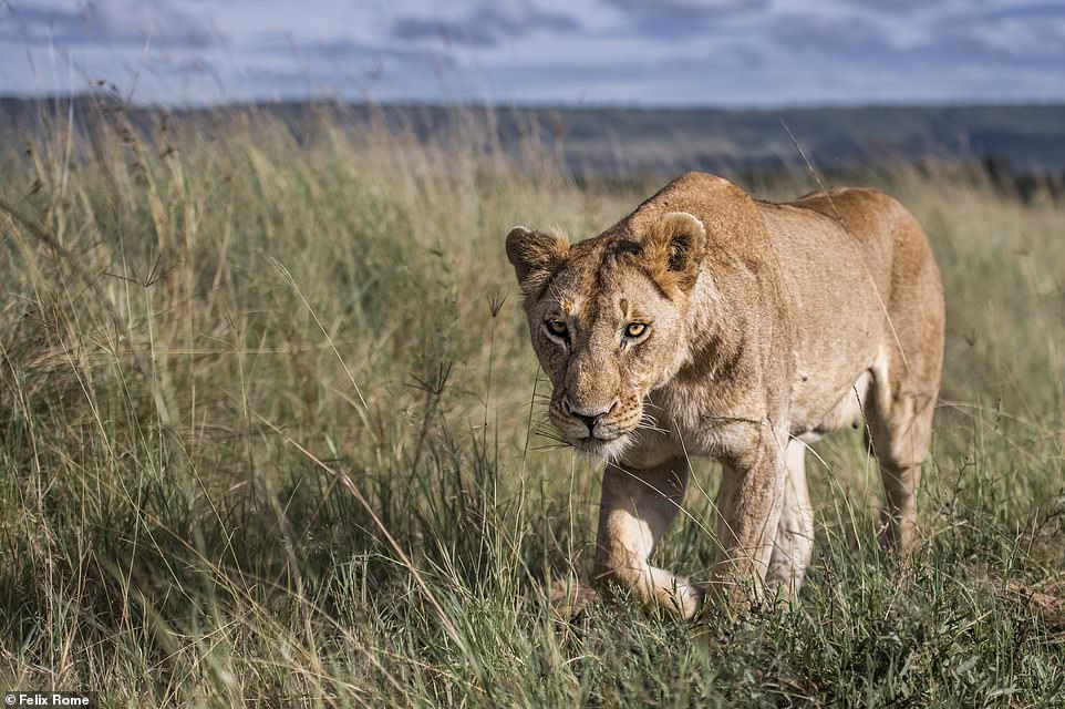 'If you think you have nerves of steel, trying going face to face with a lion on the hunt,' said Felix. 'This image is a snapshot of a magical encounter I had with two female lions, just a few metres from me. I was lying on the floor of the jeep hanging out the side slightly to get a lower perspective. As the lions walked past, one of them shot me a glance I'll never forget. Once they had past, my heart was pounding. You get a real appreciation of their size, power and beauty when you are on the same level and only a foot away from them'