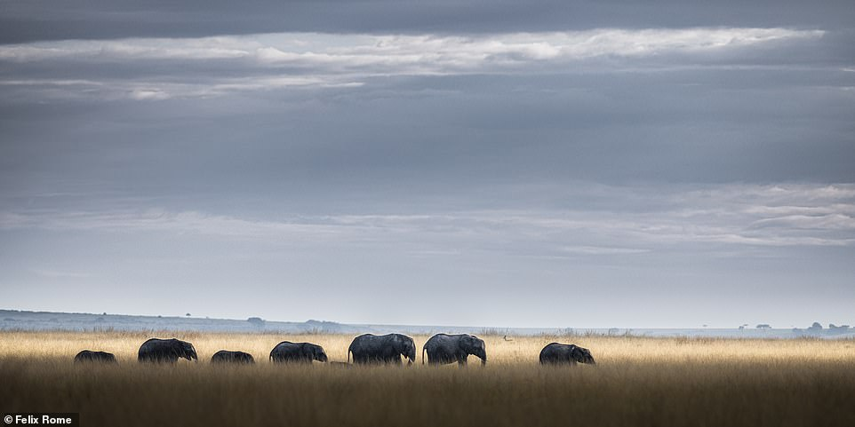 'The Mara is famous for elephants and lions roaming vast expanses of grassland,' said Felix. 'The sky is enormous. Uninterrupted storm clouds roll in as shards of light pierce through the dark sky, painting the landscape. It is a magical place. One morning the clouds rolled in as a line of elephants crossed the plains. A shard of light lit the grass behind them enhancing their outline from the landscape'