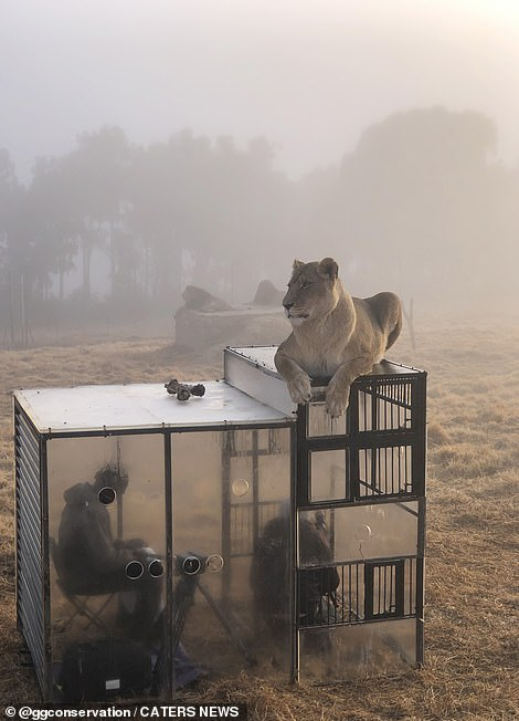 The sanctuary isin the process of rescuing lions from a closed down zoo in the Middle East