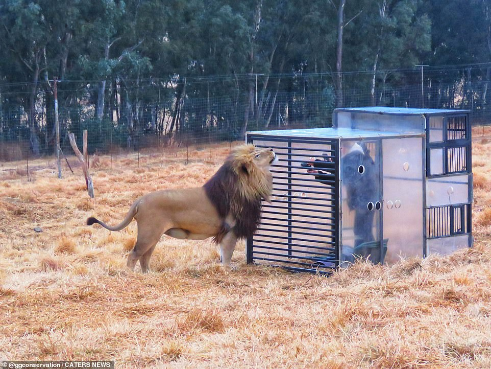 The cube gives the sanctuary a bit of extra income - which is used to help it care for the lions
