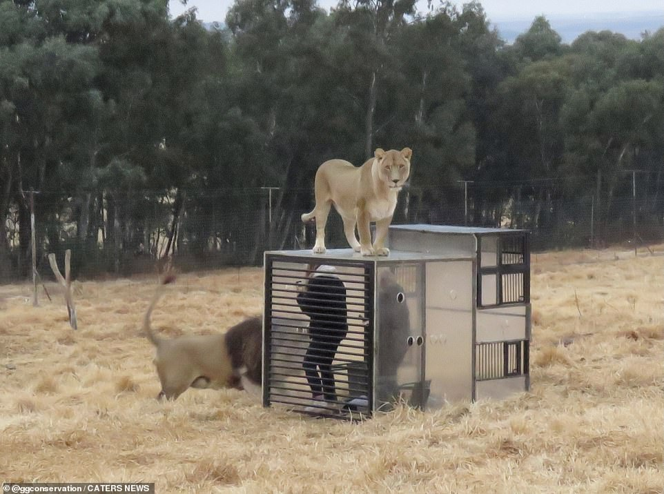 The cube is regularly checked by an engineer to ensure it can safely carry the weight should a lion jump on top of it