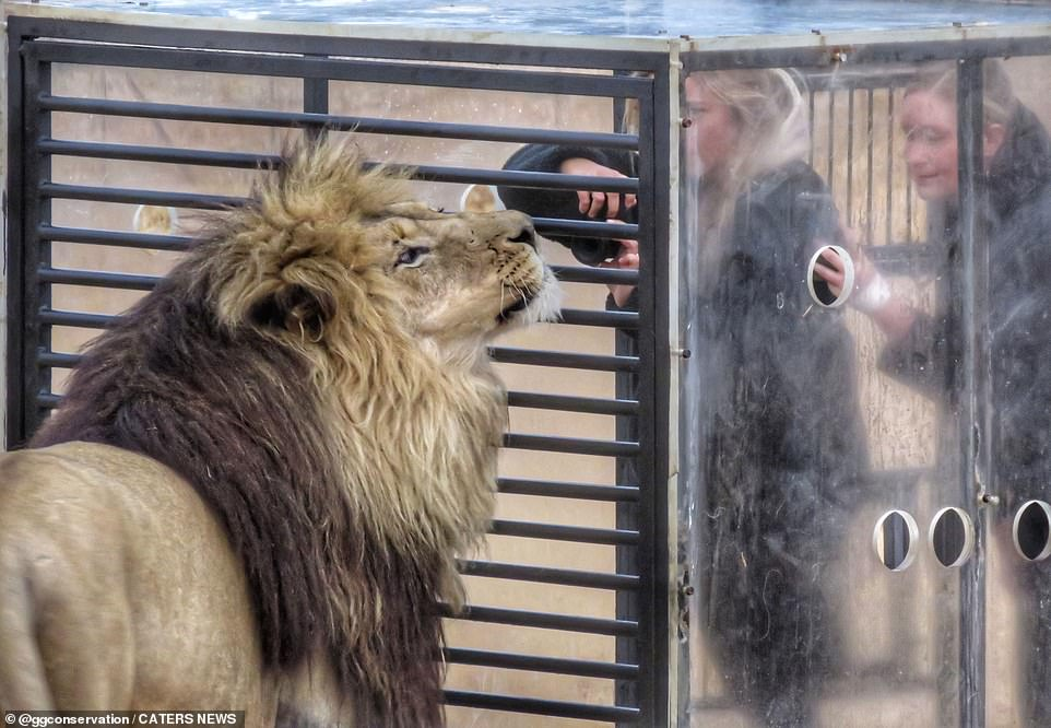 Photographer and director of GG lion sanctuary, Suzanne Scott, 53, shared these amazing pictures