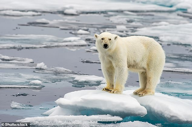 Artic polar bears (pictured) are being forced to migrate due to less sea ice in the Last Ice Area