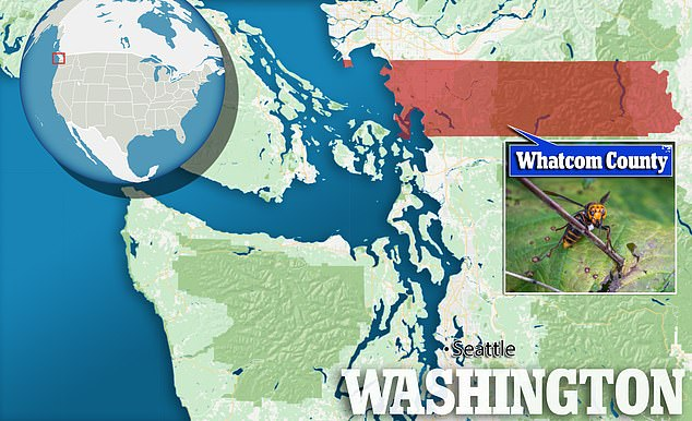 The nest, located near Blaine in Whatcom County along the Canadian border, was eradicated on August 25