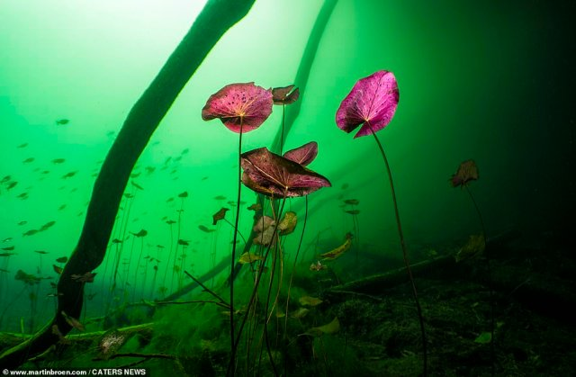 After heavy rains tannic acid accumulates, providing a colourful neon-green tone and amazing background for the water lilies at Cenote Car Wash in Tulum, Mexico