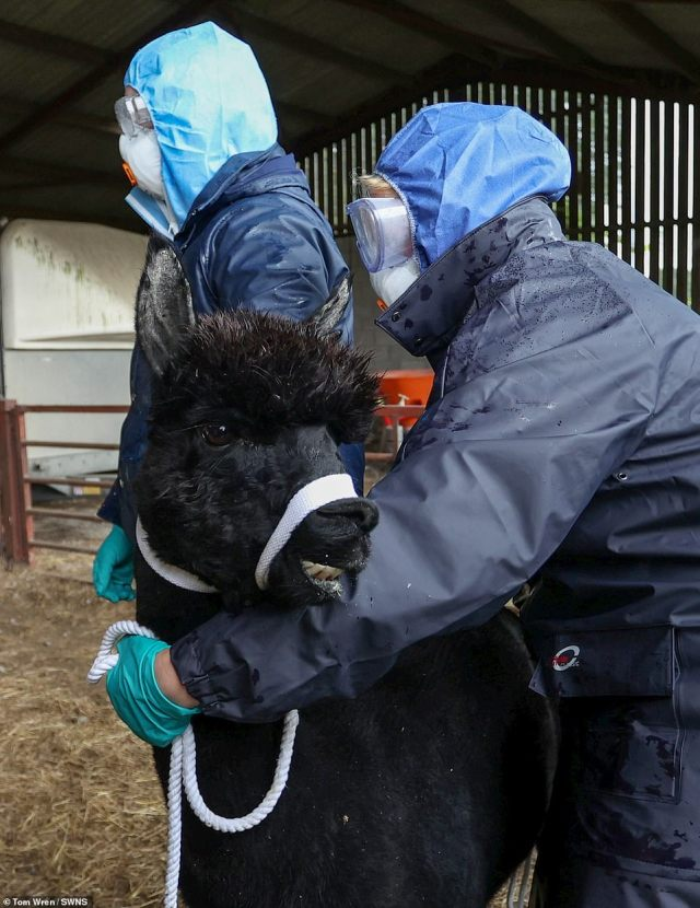 Geronimo the alpaca has been executed after Defra officials today seized the animal and drove him away from his Gloucestershire farm just days before the destruction warrant expired