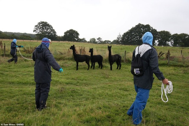 Web cam footage showed Geronimo make a break for freedom from his 'captors' and run into a field with other alpacas