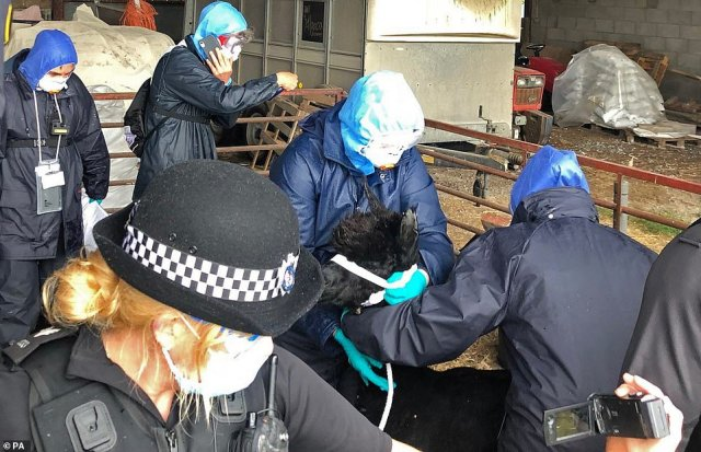 Workers, who arrived with a police escort, surround Geronimo the Alpaca at Shepherds Close Farm in Wotton-under-Edge