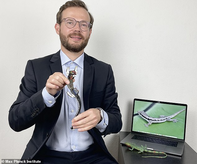 Ardian Jusufi with a soft gecko-inspired robot.Two soft-gecko like machines were built by the team - one with a tail and the other without to see how important the tail was to its stability