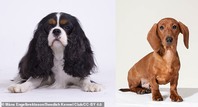 Comparisons of dachshunds (right) with and without signs of heart disease were used to help identify mutations that potentially predispose cavalier King Charles spaniels to develop MMVD