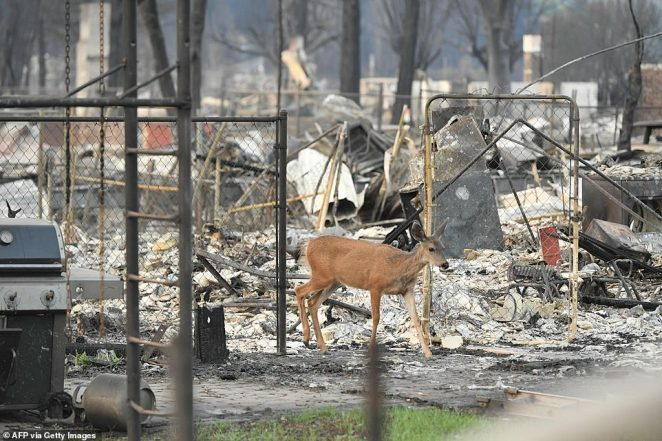 A deer jumps wanders through burned rubble in Greenville, California on September 4, 2021. -he Dixie fire destroyed most of the town of Greenville, California and still continues to burn