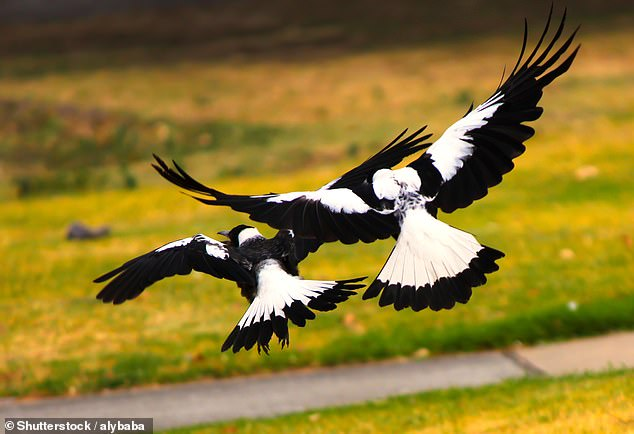 Two aggressive magpies in Lane Cove, Sydney are set to be culled after more than two dozens residents have been injured in the last two years (file image)