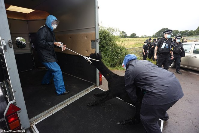 Geronimo is taken away from Miss Macdonald's farm in Gloucestershire on August 31 before being put down