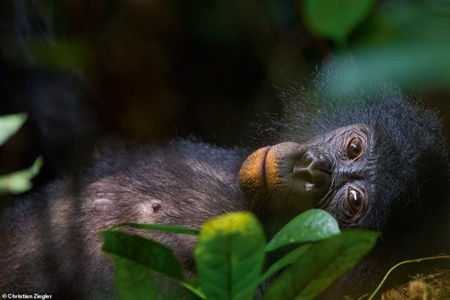 This striking image of a femalebonobo was taken in the Democratic Republic of Congo. Her lips are stained with red clay.Ziegler explains: 'Bonobos often eat clay to help them digest unripe fruit.' There's an entire chapter dedicated to bonobos in Jungle Spirits. Ziegler refers to the animals as 'our unknown cousins'