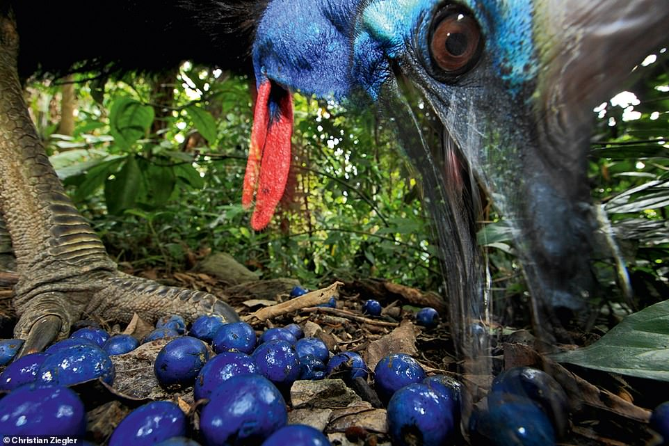 This characterful photograph captures a southern cassowary in action. According to Ziegler, these flightless birds are native to Papua New Guinea and Queensland, Australia, and they play an important role in seed dispersal. The berries on the floor of this snap belong to a blue quandong plant, which is native to Queensland