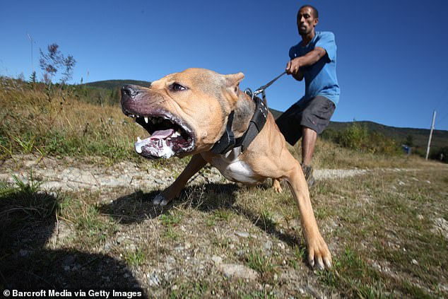 Desperate rescuers beat the savage dog with an iron bar and stabbed it to stop the frenzied attack on its woman owner at a rural home south of Sydney. (Pictured, a stock image of an American pit bull terrier)