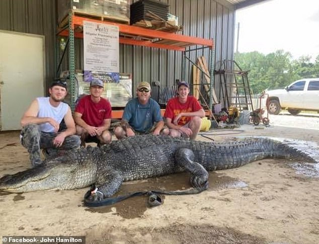The 13-foot alligator was captured in Eagle Lake, Mississippi, and transported for processing