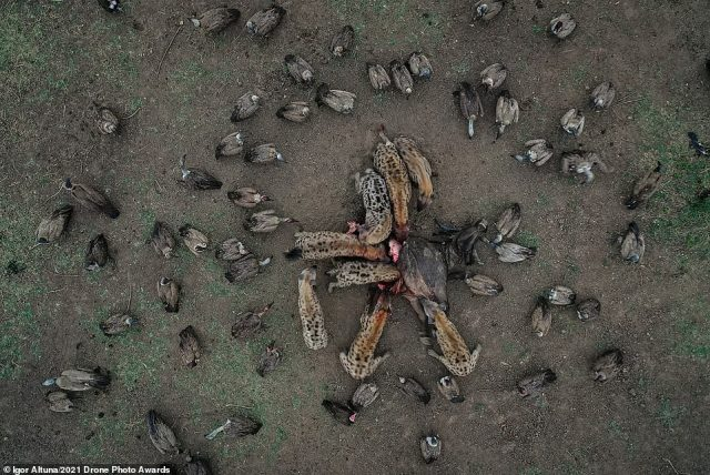 Runner-up in the Wildlife category is this fascinating photograph by Igor Altuna. It was taken in Zambia and shows the carcass of a buffalo that two male lions had killed. After they left, hyenas and vultures moved in to finish off the remains
