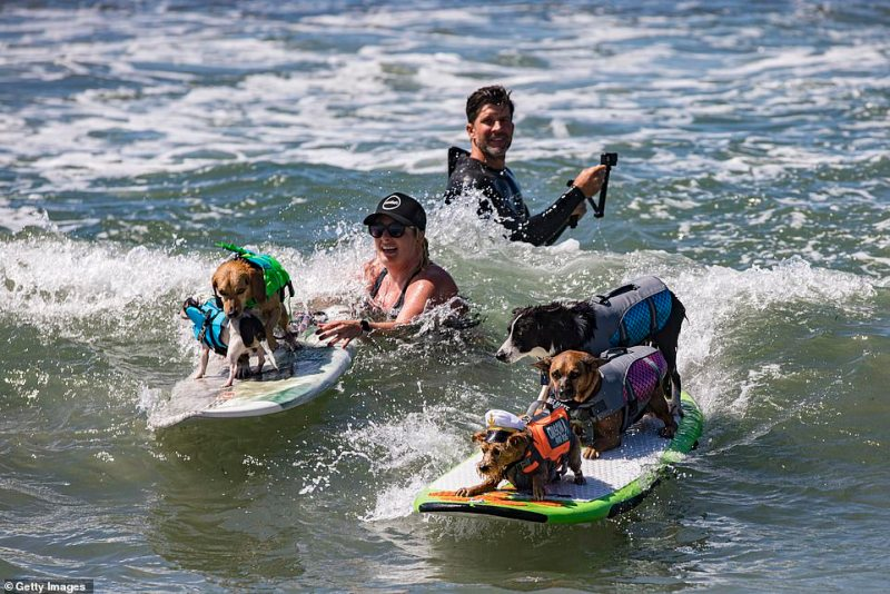 A group of dogs compete in Sunday'sAnnual Surf Dog Surf-A-Thon