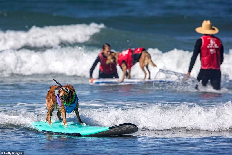 A dog sporting sunglasses comptetes at the annual doggie surf competition
