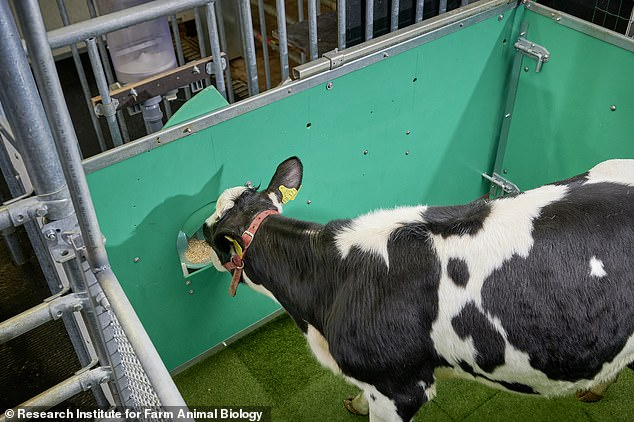 To toilet train the calves, the researchers began by rewarding the animals with a sugar treat (pictured) each time they urinated in the special toilet.  The next step involves allowing the calves to enter the toilet enclosure from outside when they need to relieve themselves.