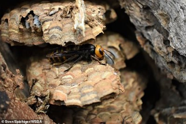 The second nest was destroyed on 11 September – mission details have not been released.  The first Asian Hornet of 2021 (pictured) was sighted on 11 August and officials quickly located the nest and destroyed it on 26 August.
