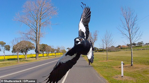 Lane Cove Council obtained a 'licence-to-harm' last week issued by the National Parks and Wildlife Service after recent attacks on residents in a Lane Cove street (stock image)