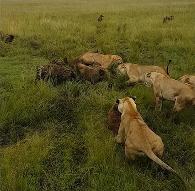 The rest of the lioness's pride storm to her rescue in Kenya's Maasai Mara National Park