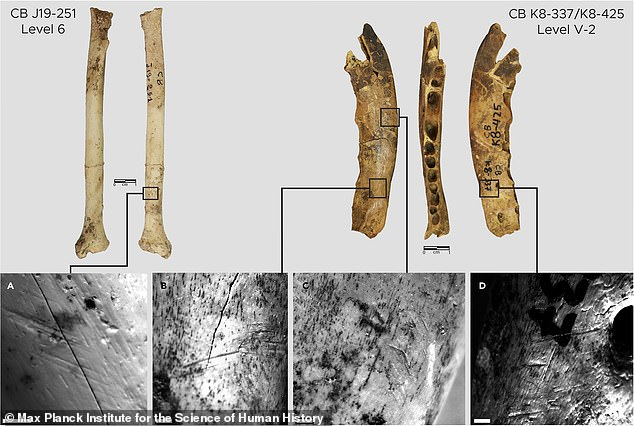 Some skinned fox bones found by archaeologists in the Contrebandiers cave