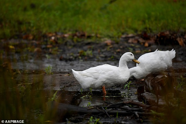 Waterfowl are not supposed to be fed bread as it is not part of their natural diet and can cause deformations due to improper nutrition