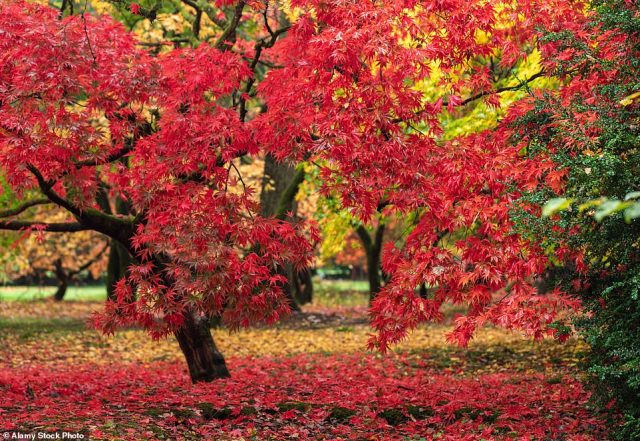 The spectacular Acer Glade at Westonbirt near Bath, which is the country's best-known arboretum
