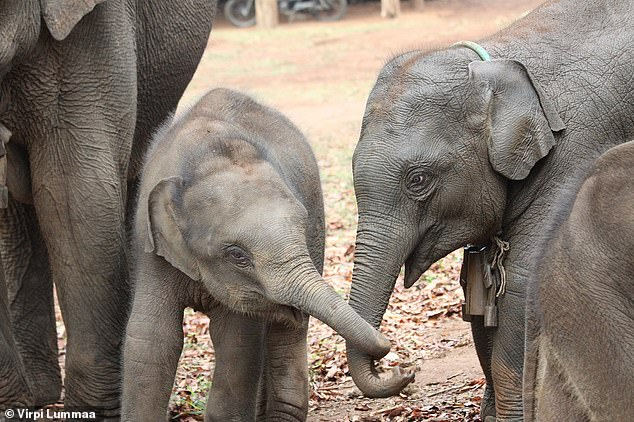 Study of semi-captive Asian elephants in Myanmar finds that calves benefit from having older sisters than older brothers