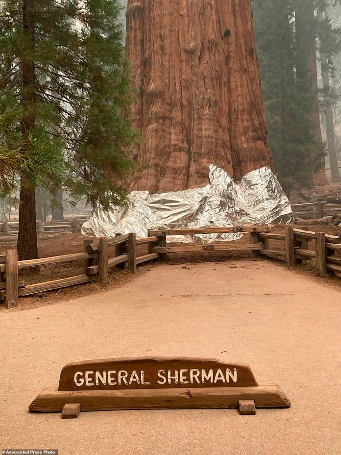 The giant sequoia known as the General Sherman Tree with its base wrapped in a fire-resistant blanket to protect it from the intense heat of approaching wildfires at Sequoia National Forest in California