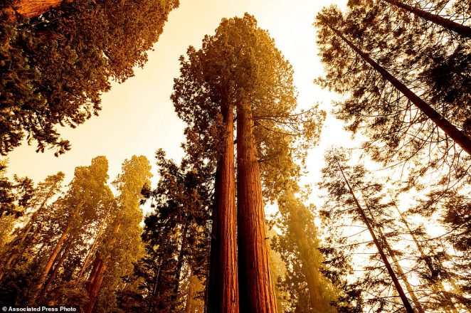 Sequoia trees stand in Lost Grove along Generals Highway as the KNP Complex Fire burns about 15 miles away