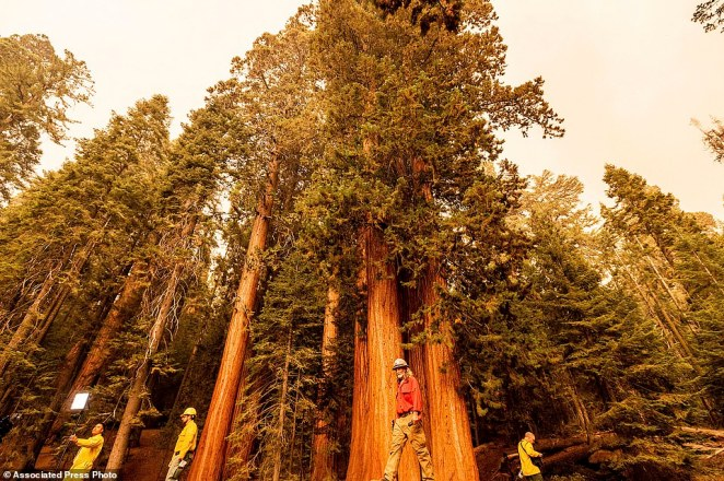 Members of the media walk among sequoia trees in Lost Grove