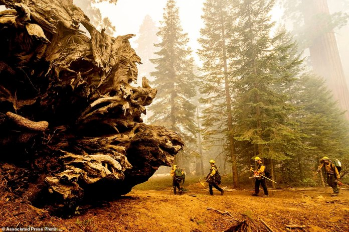 Firefighters battle the Windy Fire as it burns in the Trail of 100 Giants grove of Sequoia National Forest
