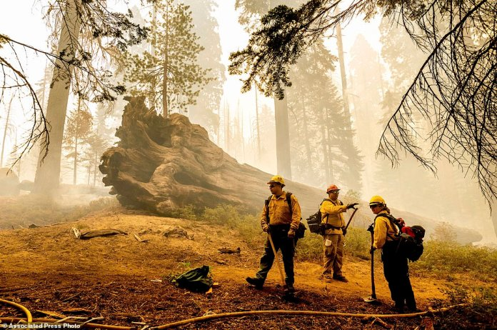 Firefighters battle the Windy Fire as it burns in the Trail of 100 Giants grove