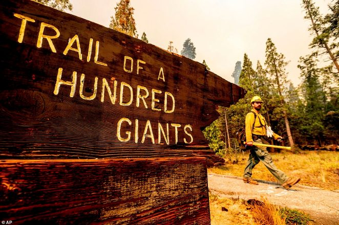 A firefighter battles the Windy Fire burning in the Trail of 100 Giants