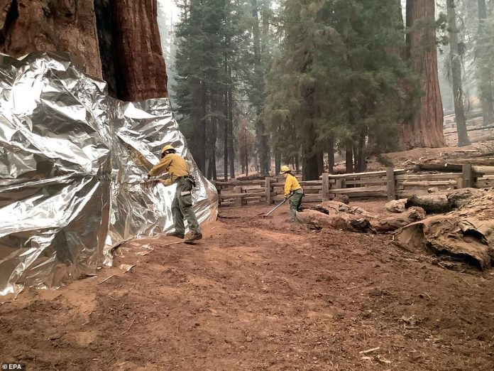 Firefighters apply fire-resistant structural wrap around giant sequoias threatened by the KNP Complex Fire within the Sequoia National Forest near Three Rivers, California