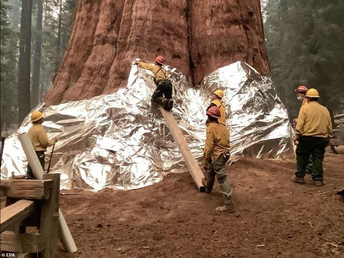 Firefighters wrapped the base of the General Sherman Tree, along with other trees in the Giant Forest, in a type of aluminum that can withstand high heat