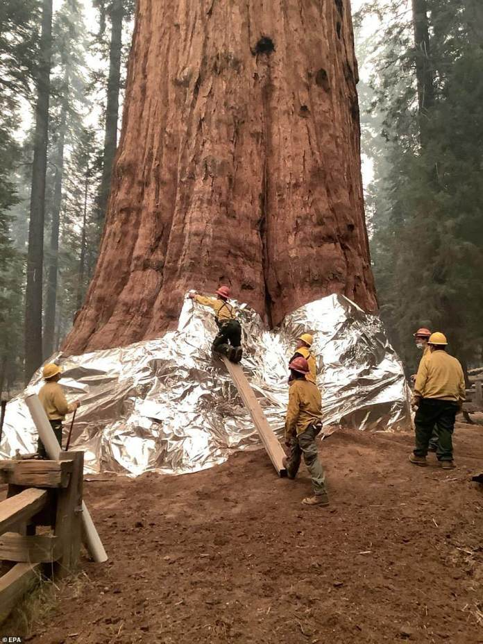 The firefighters used planks of wood in order to drag the aluminum wrap above the tree's base