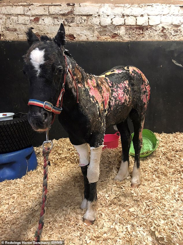 It is thought that his Barnfield Park stable was set alight in a sick arson attack, while a horrified passerby spotted the injured foal (his burns pictured) after he ran out on to the road