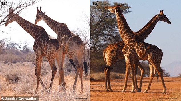 Giraffe males, known as bulls, fight before striking each other in a head-to-head position (A) or head-to-tail position (B).