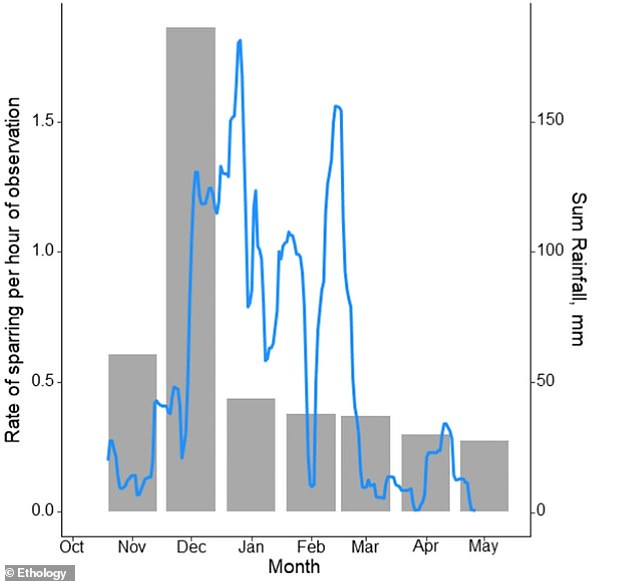 The sparring indicated a seasonal peak that coincided with the start of the wet season.  This graph of the paper shows this seasonal variation in bouts.  Bars indicate the rate of sparring observed per month.  The blue line shows the seasonal pattern of daily rainfall (mm)